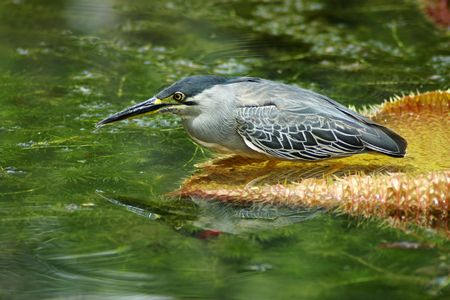 aquatic bird: Butorides striatus, an aquatic bird on a water lily leaf, reflected in water