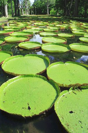 Giant water lilies (Victoria amazonica) at the Pamplemousses Botanical Garden (aka Sir Seewoosagur Ramgoolam Botanical Garden), Mauritius photo