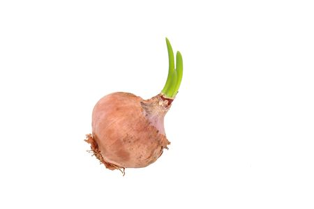germinating: A germinating onion with three green leaves sprouting from the bulb on white background.