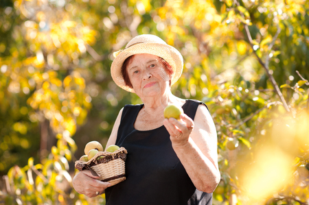 Smiling senior woman harvesting holding basket with apples in garden. Looking at camera. Wearing summer hat in synny day over green nature background.