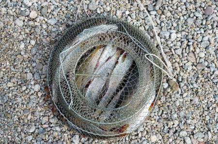 grayling: Catch of Baikal white grayling in vivary