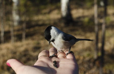Feeding of Black-Head Chickadee from the palm in the forest   Parus palustris, titmouse family  photo