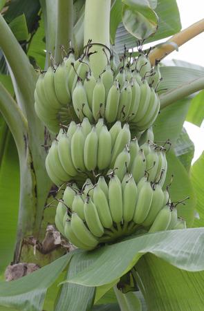 musa: Bunches of unripe bananas (lat. Musa paradisiaca) Stock Photo