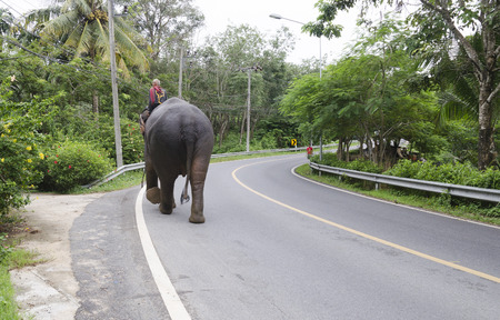 mahout: Elephant with mahout walks on the road