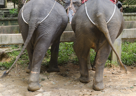 Elephants in the Khao Lak Park, Thailand. Back view photo