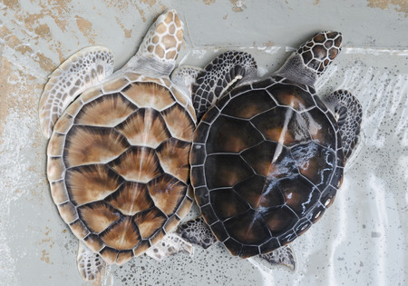 chelonia: Two Green Sea Turtles in the water (lat. Chelonia mydas) Stock Photo