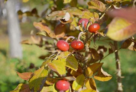 wild  rose: Red bacche mature di rosa selvatica su un cespuglio