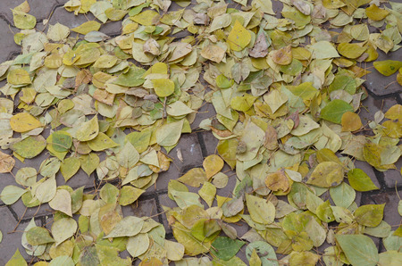 Yellow brich leaves on the ground
