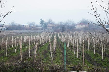 georgian: Vineyard in the Georgian village