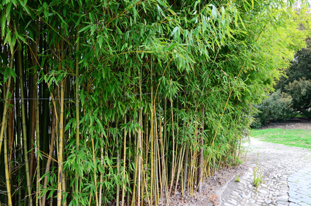 thickets: Thickets of bamboo in the park