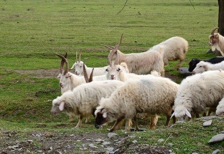 oveja: El ganado que se reproducen en Georgia. Alazani Valley, Kakheti Foto de archivo