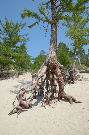 stilted: Famous stilted trees in Sandy Bay on the coast of Lake Baikal.