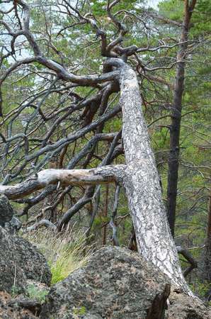 boughs: Dry pine tree with thick twisted boughs