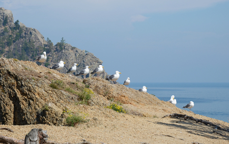 Seagulls - lat. Laridae, sitting in a row on the hill over the Lake Baikal. Russia Stock Photo