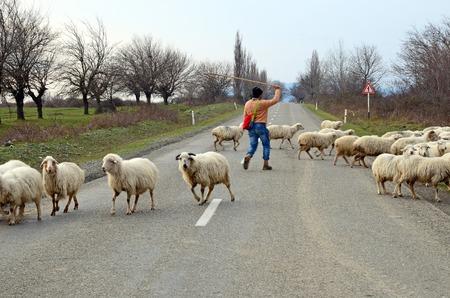 cattle breeding: Cattle breeding in Alazani Valley, Kakheti