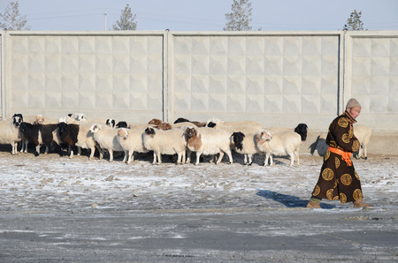 herdsman: Ulaanbaatar, Mongolia - Dec, 03 2015: Mongolian man in national dress and a flock of sheep at a fence in winter in Mongolia