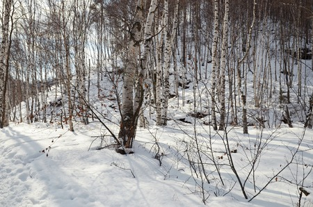 ski runs: White birch trunks in winter snowy forest