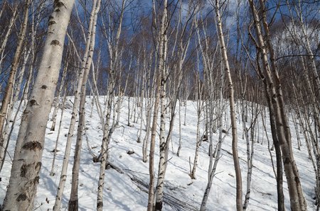 White birch trunks in winter snowy forest