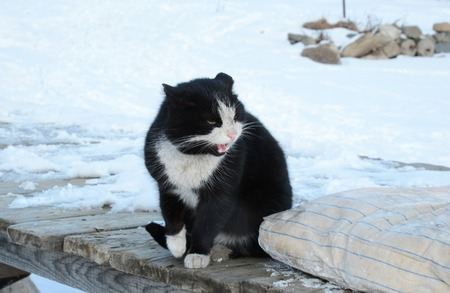 winter evening: Black and white cat sitting outside in winter evening