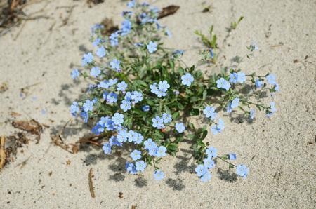tender: Tender blue flowers of Forget-me-not on sandy ground - lat. Myosotis