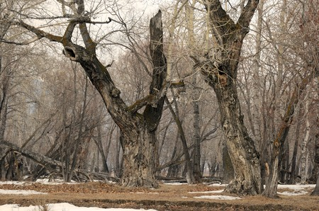 poplar  banks: Fairy forest with the oldest relic poplars on the banks of the river in Siberia Stock Photo