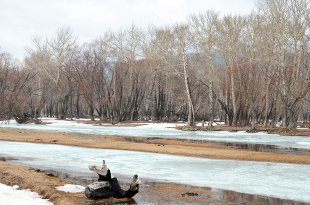poplar  banks: Grove with the oldest relic poplars on the banks of the river near Lake Baikal