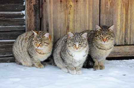 wicket door: Three identical cats sit on a wooden porch Stock Photo