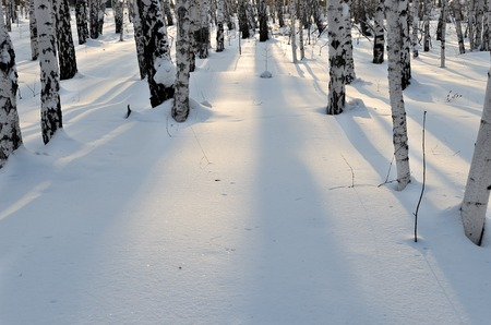 Copy space. Brich forest in winter. Sunset. Lonely shadow on white snow. Russian nature. 写真素材 - 114603356
