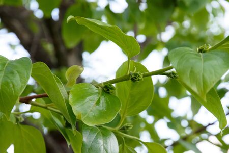 Green leaves of a fruit tree. Floral background. Evening light 写真素材