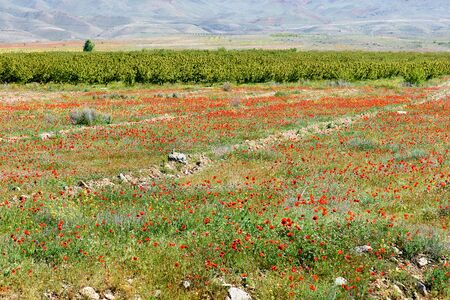 Field with blooming red poppies in Armenian countryside in spring