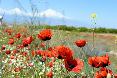 Blooming red poppies in spring. South of Armenia 写真素材