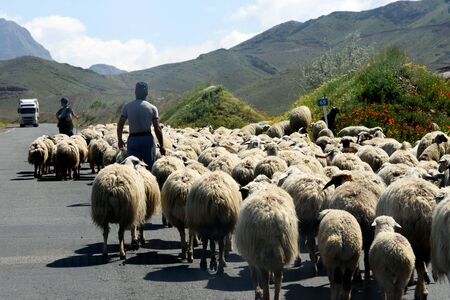 Ararat region, Armenia - April, 30 2019: Flock of rams and sheeps are driven along road. Cattle breeding in Georgia. 写真素材
