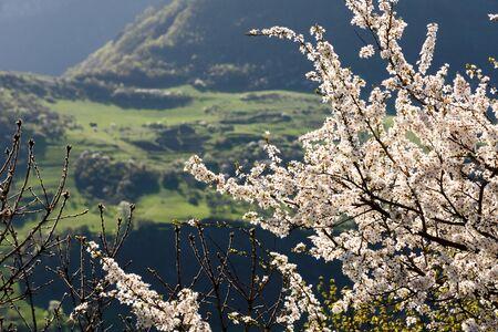 Branches of apple tree blossoms on background mountains in spring morning. Armenia, Tatev, Syunik region