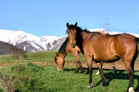Couple of horses graze on rural mountine pasture in morning. Armenia, Tatev, Syunik region
