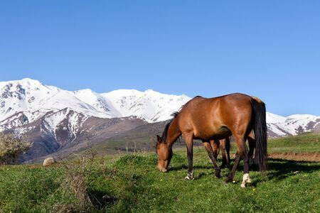Pair of horses graze on background of snow-capped mountains. Armenia, Tatev, Syunik region