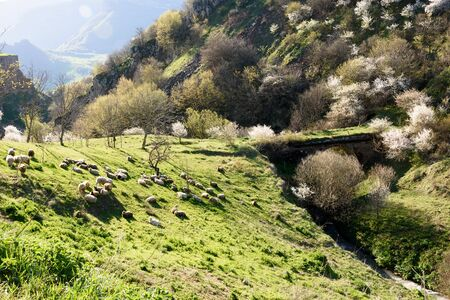 Herd of rams and sheeps rest on mountain pasture in morning, Armenia