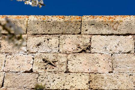 Two lizards, Caucasian agamas on stone wall, Tatev Monastery, Syunik region, Armenia 写真素材