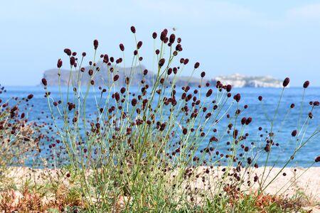 Burgundy balls of Burnet, lat. Sanguisorba officinalis, on a background of water. Lake Baikal coast. Medicinal herb