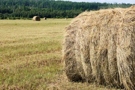 Mowed grass laid in drying stacks. Roll of hay in field