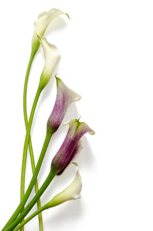 calas blancas: Disposici�n Callas aislado en fondo blanco