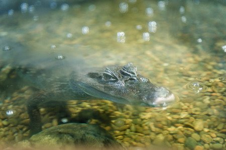 oceanarium: Small alligator at Moscow Oceanarium, Russia Stock Photo