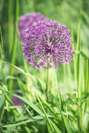the close range: Beautiful meadow with flowers of purple Allium. One flower in focus at close range. Flower illuminated by bright sunlight