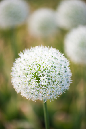 the close range: Beautiful meadow with flowers of white Allium. One flower in focus at close range