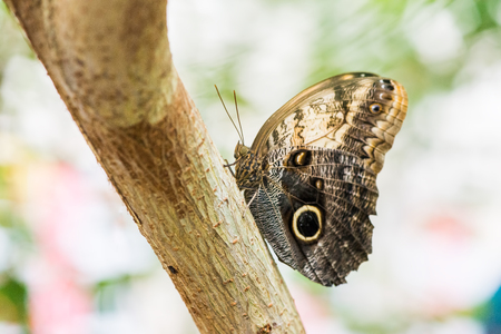 warm climate: Butterfly Kaliga sits on a tree trunk. Butterfly wings folded. Habitats of South America. Stock Photo