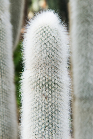 harmless: Cactus Cephalocereus senilis compared to other plants. Long bushy cactus like harmless plants. If you touch the plant on the hand will be a burning sensation Stock Photo