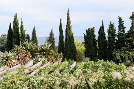arborvitae: Seaview Nikitsky botanical garden in Crimea. Against the backdrop of the majestic sea visible arborvitae Stock Photo