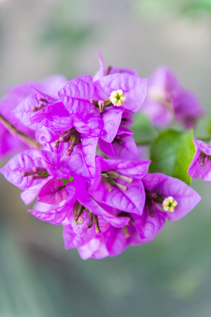 botanist: Bougainvillea flower close-up. Plant attracts attention for its unusual three-lobe flower Stock Photo