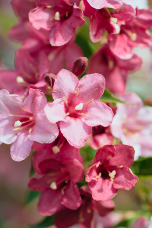 villi: Pink zephyranthes flowers close-up