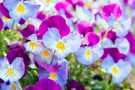 villi: Flowers of purple-blue pansy
