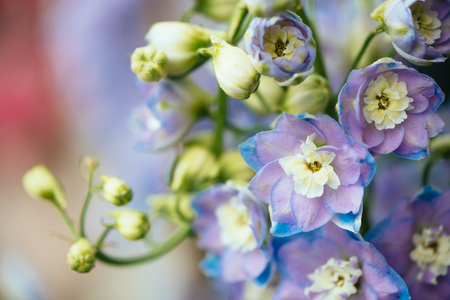 ornamental plant: Purple flowers of ornamental plant Delphinium